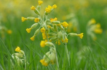 Sally Gray - Cowslips