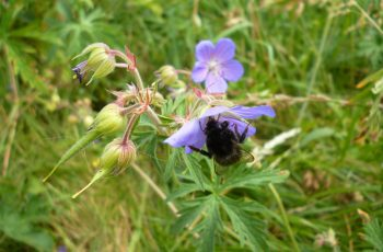 Bee Friendly Geranium By Pam Finn