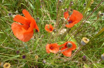Poppies To Remember By Pam Finn