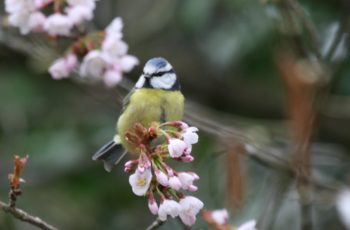 Bluetit Tasting The New Spring Foliage By Simon Brown