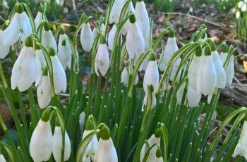 Snowdrops by Andy Godly