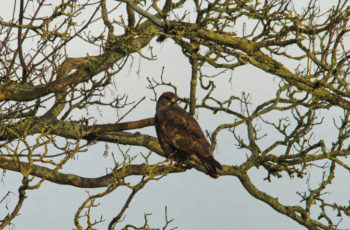 Buzzard Posing Beautifully By Bonny Haughey