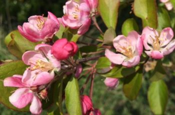 Pink Apple Blossom By Cindy Lea