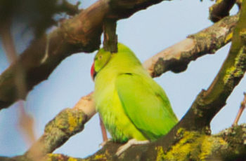 Ring Necked Parakeet By Bonny Haughey