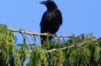 Sally Gray Carrion Crow