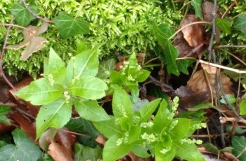 Sally Gray - Fresh Green Of Dogs Mercury
