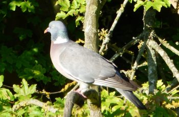 Sally Gray Wood Pigeon