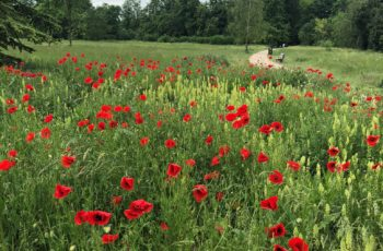 Sharon Pullan Poppies In The Park 1