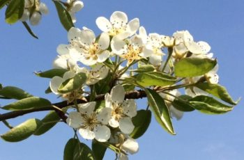 White Pear Blossom In The Sunshine By Cindy Lea